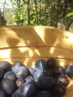 Damsons from the orchard, destined for jam