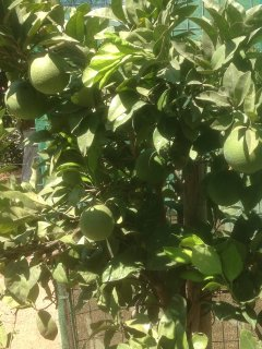 Nearly ripe ,our oranges