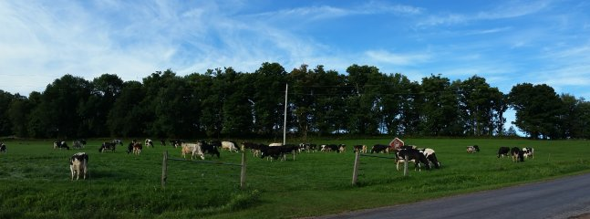 Cows grazing behind house