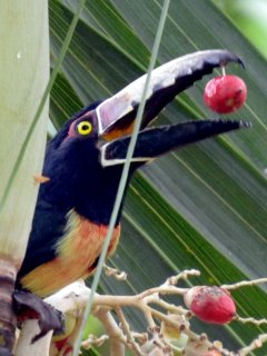 Toucans visit depending on the fruit on offer
