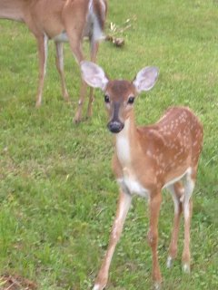 Deer are everywhere on Fripp, a big hit with the little ones on golf cart rides!