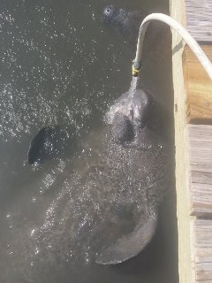 So you want to see the Manatees...