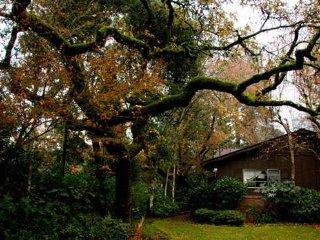 Oak in front of house.