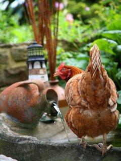 A cheeky chicken