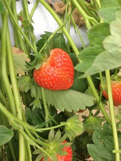 Strawberries growing at Royal Oak Farm