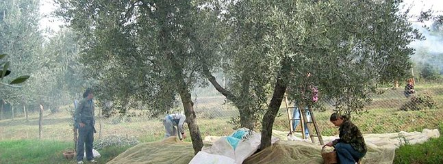 Semproniano, the olive harvest