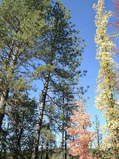 The pines of Pine Bluff.