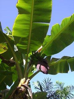 banana's on the farm