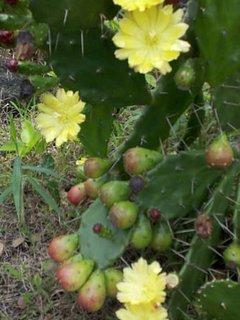 some cactus flowers