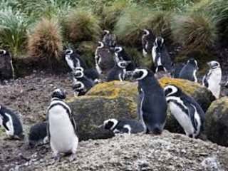 Punihuil has nests of Humbolt penguins and Magellanic penguins.