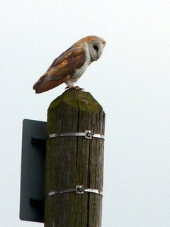 There are more Barn Owls in Norfolk than any other county.