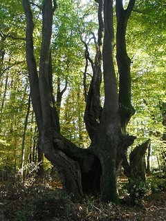 very old oak of the Forest.