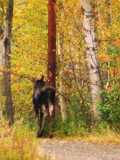 Moose in driveway