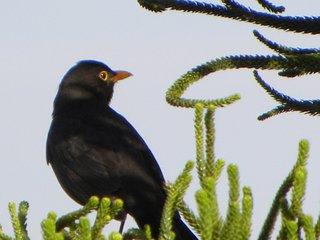 Turdus Merula or 'Black Bird' on our tree