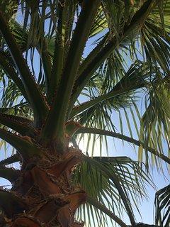palmier en bord de terrasse/piscine