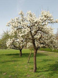 Voorjaar. De hoogstam fruitbomen staan in volle bloei.