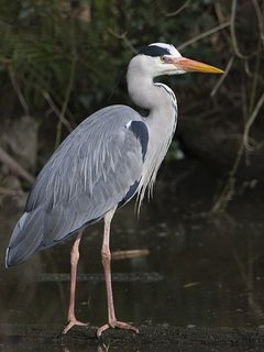 A Grey Heron at Bosherston Lily Ponds host to numerous BBC Spring Watch programmes