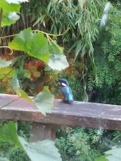 Kingfisher on decking by stream!