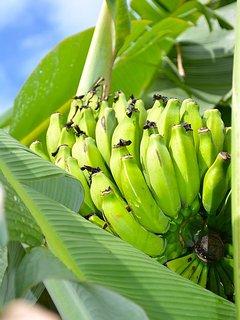 Bananas From The Yard