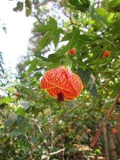 Lanterna Chinesa, ornamental, no quintal do Chalé Chapada dos Veadeiros.