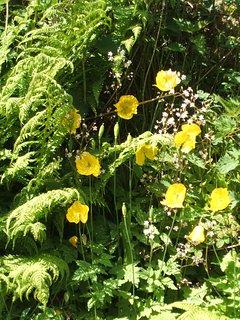 Wild Welsh poppies.