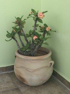 Priscilla - Queen of the Desert blossoms at the door!