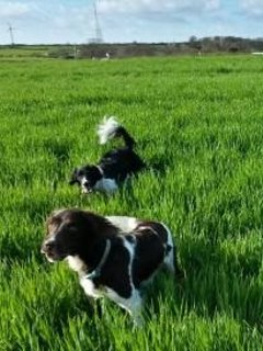 Spaniels enjoying the fields