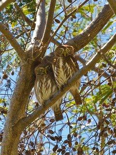 Pygmy owls in big tree near pool
