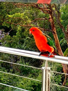 King Parrots visit often during certain times of the year