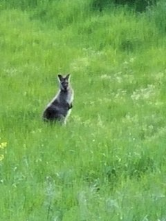 Go for a walk near dusk on our street to see wallabies and kangaroos everywhere