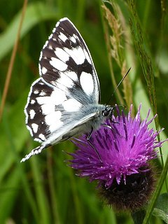 A Marbled White photographed within the grounds....absolutely stunning!