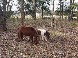 Resident mini horses