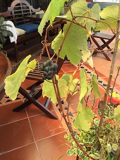 First grapes of the season in the terrace