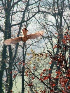 l'envol du faucon crécerelle depuis la cabane