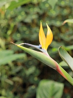 Oiseau de paradis en fleur
