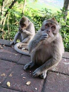 Monkeys at a stopping point on Villa transfer.