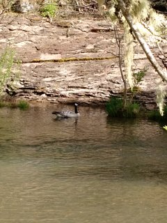 Goose on the creek.
