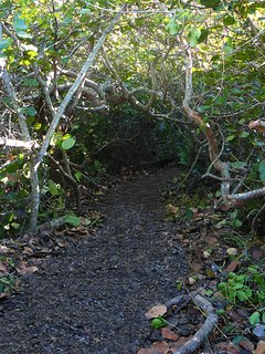 The lower part of our beach trail hidden in the sea grape canopy.