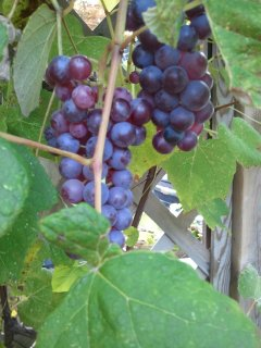 End of summer...grapes are ready to eat.
