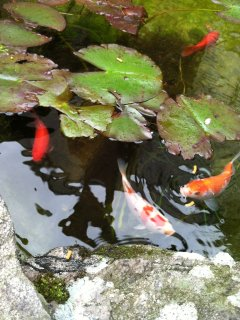 Gold fish in the pond.