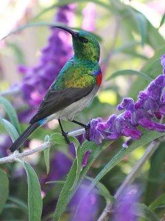 A resident sunbird