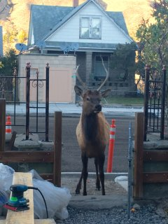 young bull elk visiting front hotel entrance