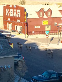 our elk sometimes stop and look both ways, main street headed to park one block away