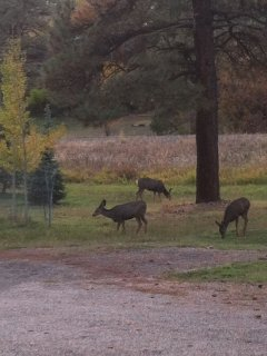 Deer love to feed in the yard in the mornings and at dusk.