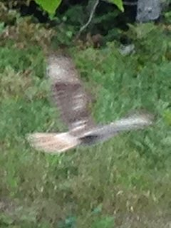 Red-tailed hawk on the front lawn