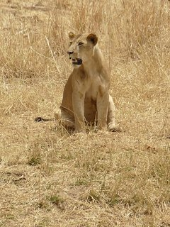 Lion focus on attacking at Tarangire National Park