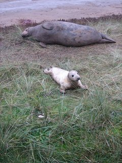 Seals at Donna Nook October/November