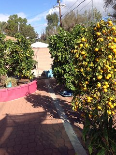 Many trees with fruit in the back yard.