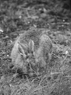 Hare in garden