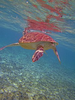 Swim with the turtles at Spotts Bay